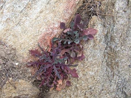 Reichardia picroides - cousteline, reichardie faux picris Dscf8044