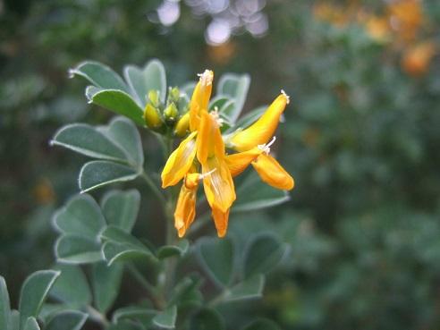 genista - Genista linifolia, Medicago arborea, Anthyllis barba-jovis [devinette] Dscf8045