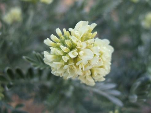 genista - Genista linifolia, Medicago arborea, Anthyllis barba-jovis [devinette] Dscf8046