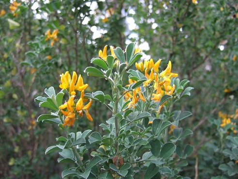 genista - Genista linifolia, Medicago arborea, Anthyllis barba-jovis [devinette] Dscf8048