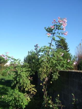 Dahlia imperialis - Page 2 Dscf8112