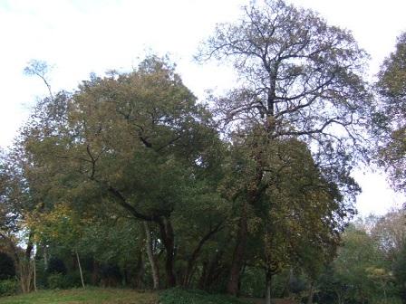 Acer monspessulanum - érable de Montpellier Dscf8117