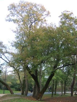 Acer monspessulanum - érable de Montpellier Dscf8118
