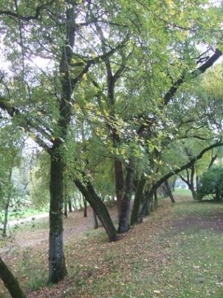 Acer monspessulanum - érable de Montpellier Dscf8120