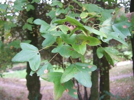 Acer monspessulanum - érable de Montpellier Dscf8121