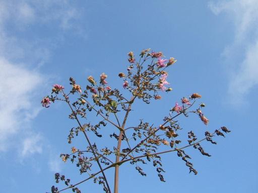Dahlia imperialis - Page 2 Dscf8136