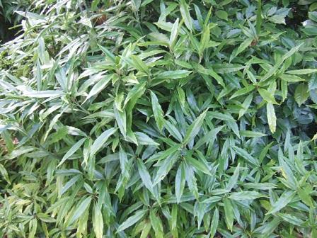 Aucuba japonica - aucuba du Japon Dscf8140