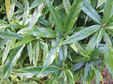 Aucuba japonica - aucuba du Japon Dscf8141