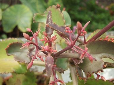Bryophyllum daigremontiana (= Kalanchoe daigremontiana) Dscf8213