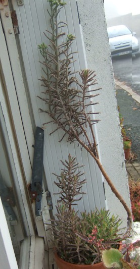 tubiflora - Bryophyllum delagoensis = Kalanchoe delagoensis = K. tubiflora et hybrides  Dscf8214