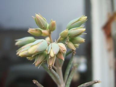 tubiflora - Bryophyllum delagoensis = Kalanchoe delagoensis = K. tubiflora et hybrides  Dscf8215