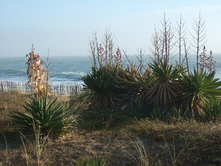 Yucca gloriosa Dscf8220