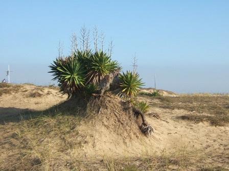 Yucca gloriosa Dscf8221