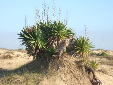Yucca gloriosa Dscf8222