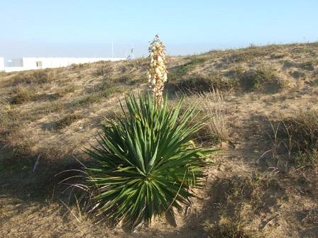 Yucca gloriosa Dscf8224