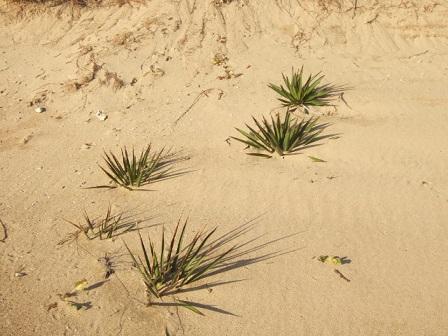 Yucca gloriosa Dscf8225