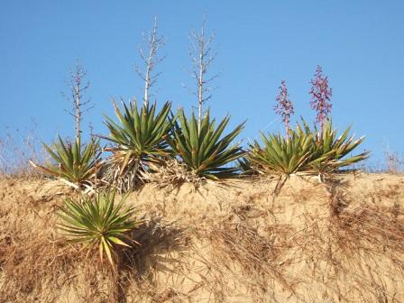 Yucca gloriosa Dscf8226