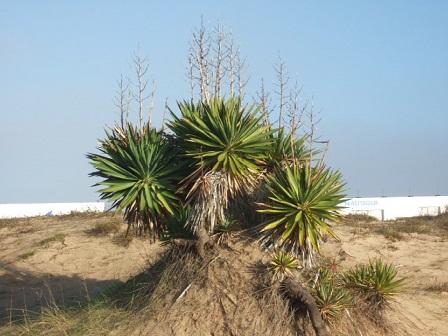 Yucca gloriosa Dscf8227