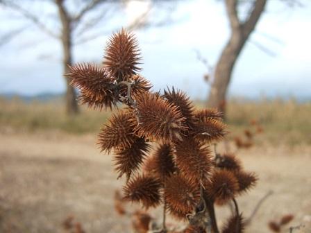 Xanthium orientale subsp italicum - lampourde d'Italie Dscf8332