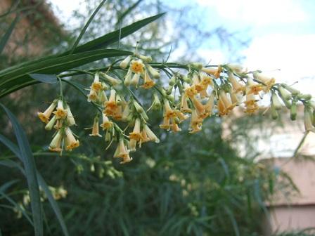 Freylinia lanceolata Dscf8334
