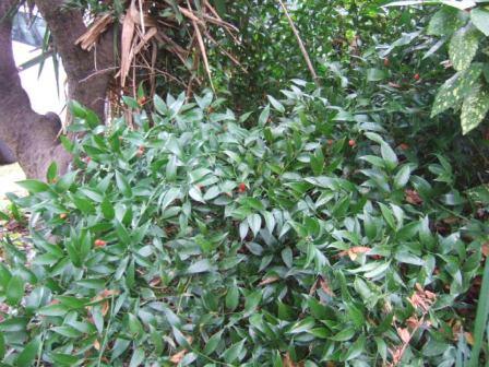 Danae racemosa - laurier d'Alexandrie Dscf8415