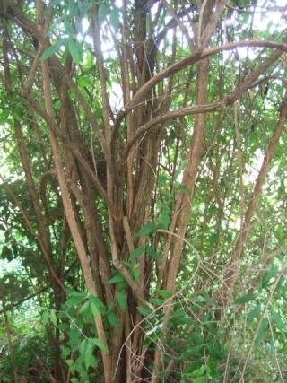 buddleia - Buddleja auriculata Dscf8426