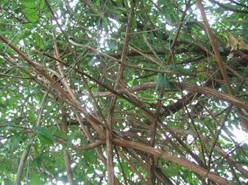 buddleia - Buddleja auriculata Dscf8427
