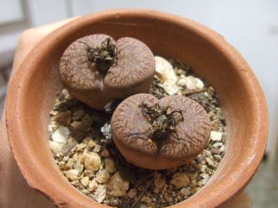Lithops - origine et notions de culture - Page 3 Dscf8431