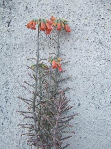 tubiflora - Bryophyllum delagoensis = Kalanchoe delagoensis = K. tubiflora et hybrides  Dscf8511