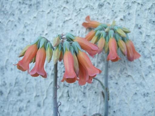 tubiflora - Bryophyllum delagoensis = Kalanchoe delagoensis = K. tubiflora et hybrides  Dscf8512