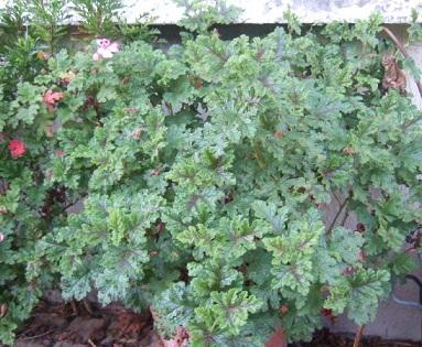 Pelargonium quercifolium Dscf8514