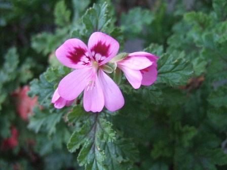 Pelargonium quercifolium Dscf8515