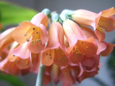 Bryophyllum delagoensis (= Kalanchoe delagoensis = K. tubiflora) et hybrides - Page 2 Dscf8612