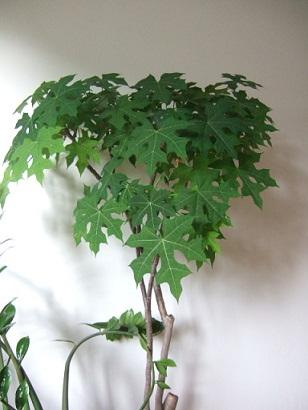 Cnidoscolus aconitifolius - chaya Dscf8614
