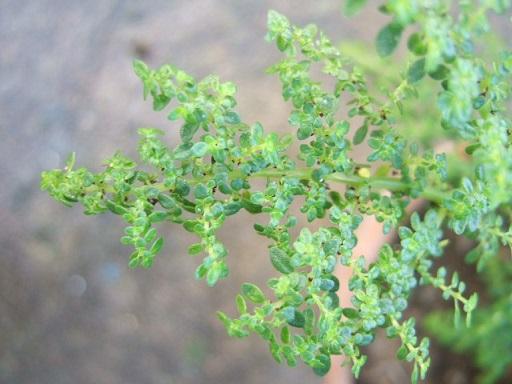 Pilea microphylla Dscf8620