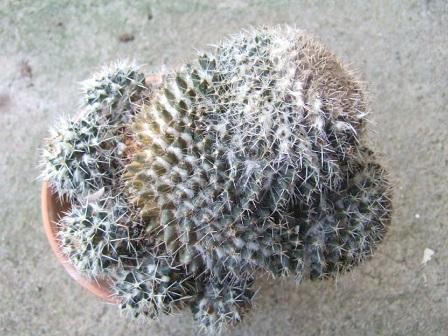Mammillaria karwinskiana Dscf8625