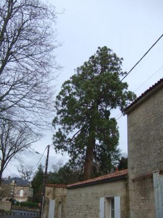 Sequoiadendron giganteum - séquoia géant Dscf8636