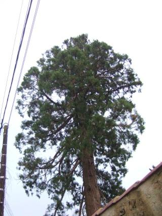 Sequoiadendron giganteum - séquoia géant Dscf8637