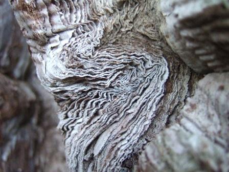 Sequoiadendron giganteum - séquoia géant Dscf8721