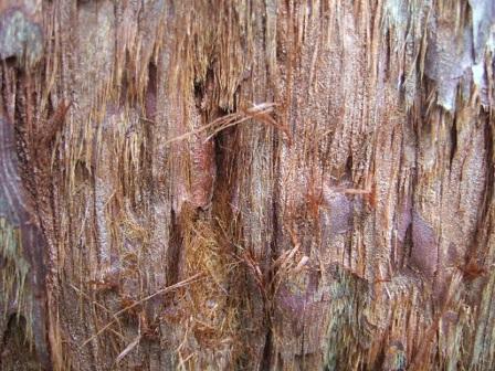 Sequoiadendron giganteum - séquoia géant Dscf8722