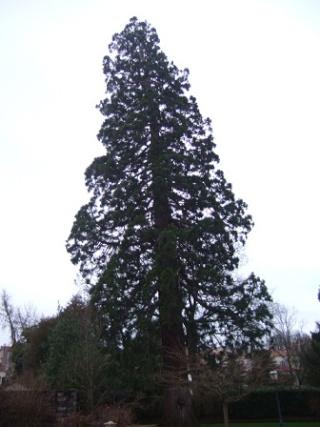 Sequoiadendron giganteum - séquoia géant Dscf8724