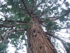 Sequoiadendron giganteum - séquoia géant Dscf8725