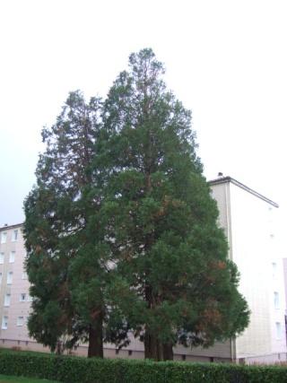 Sequoiadendron giganteum - séquoia géant Dscf8729