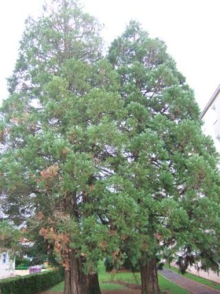 Sequoiadendron giganteum - séquoia géant Dscf8730