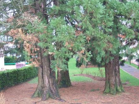 Sequoiadendron giganteum - séquoia géant Dscf8731