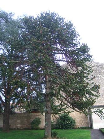 Araucaria araucana - désespoir du singe Dscf8745