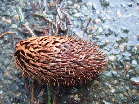 Araucaria araucana - désespoir du singe Dscf8748