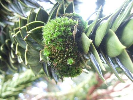 Araucaria araucana - désespoir du singe Dscf8749