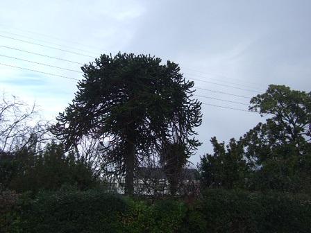 Araucaria araucana - désespoir du singe Dscf8751