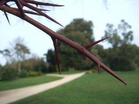 Gleditsia triacanthos - févier d'Amérique Dscf8813